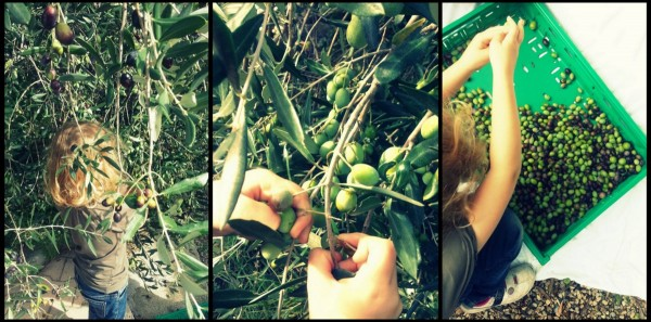 Cueillir les olives