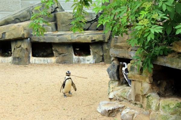 Pingouin voleur