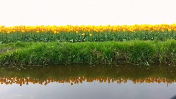 Reflets de tulipes