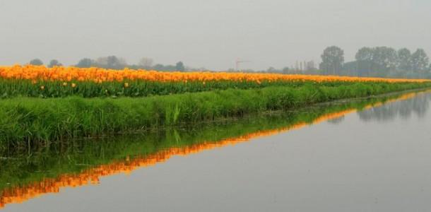 Reflets tulipes