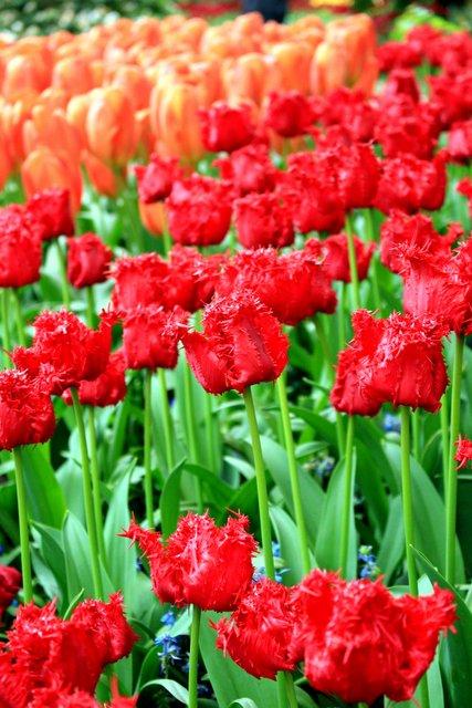 visite tulipes hollande