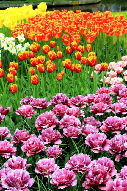 Tulipes originales