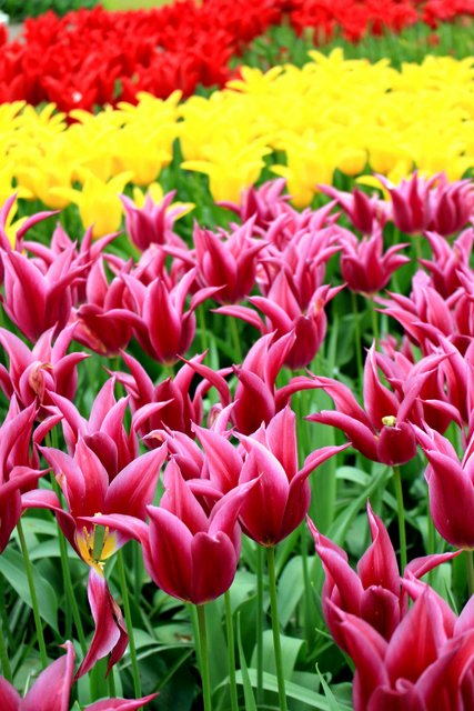Tulipes pointues
