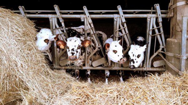 Mes copines les vaches